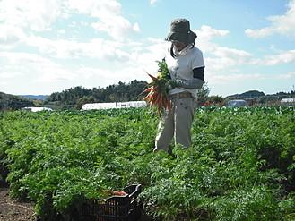 有機人参収穫の様子